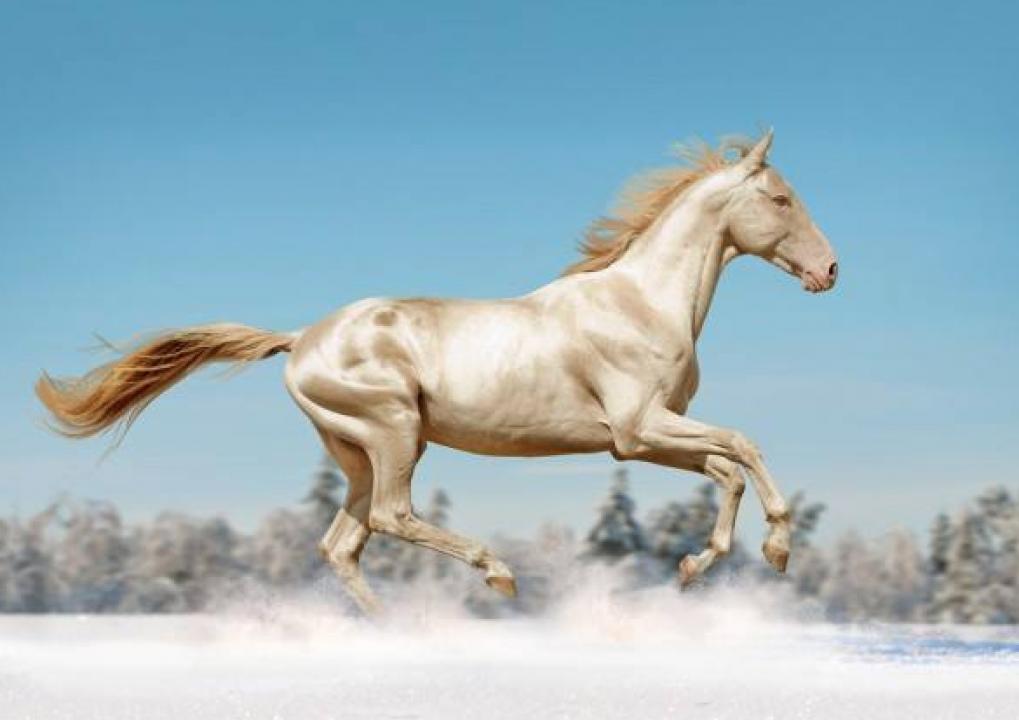 Caballos Akhal-Teke, el caballo más bonito del mundo