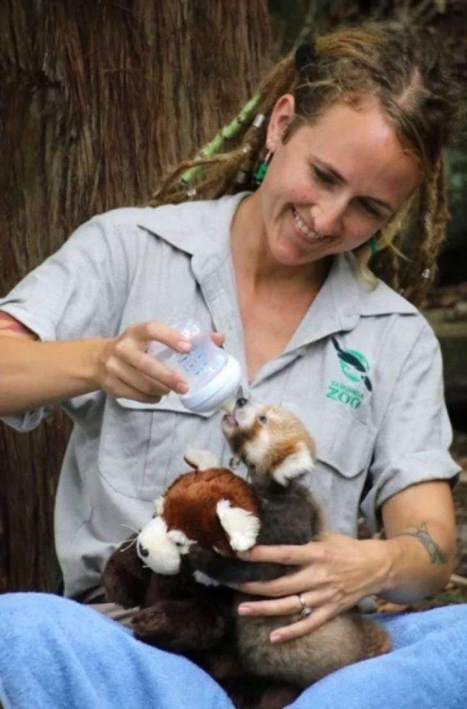 Panda rojo herido encuentra consuelo en un peluche