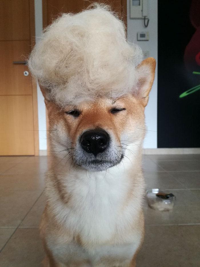 Hace pelucas a su perra con su pelo