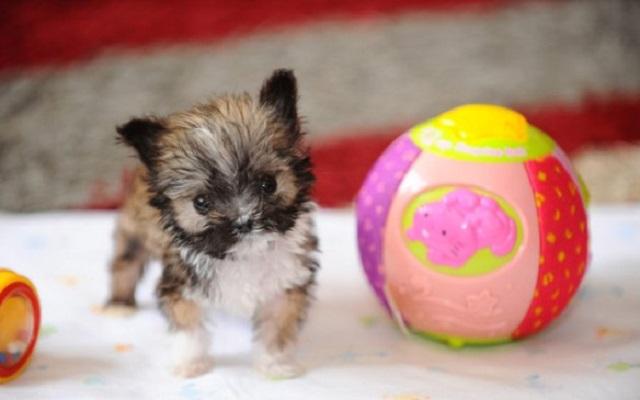 ¿Cuánto mide el perro más pequeño del mundo?