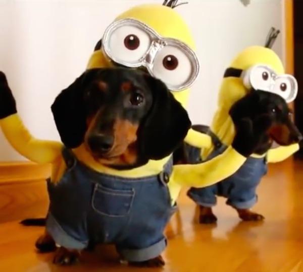El vídeo de dos perros disfrazados de Minions que triunfa en la red