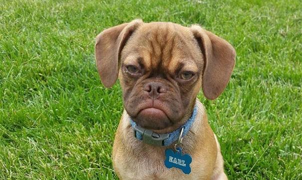 'Grumpy dog', la nueva estrrella de las redes sociales