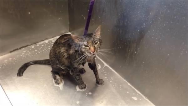 El gatito que suplica que no lo bañen