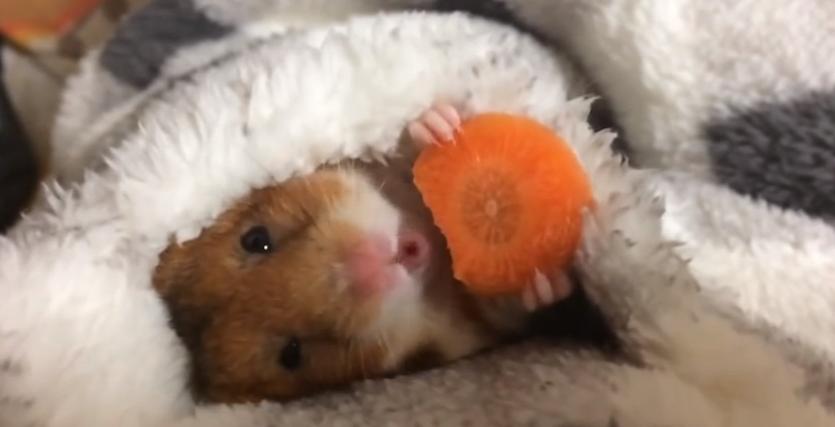 Este hamster comiendo zanahoria ha conquistado internet