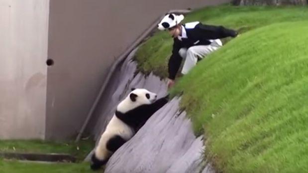 Este pequeño panda protagoniza uno de los virales más graciosos