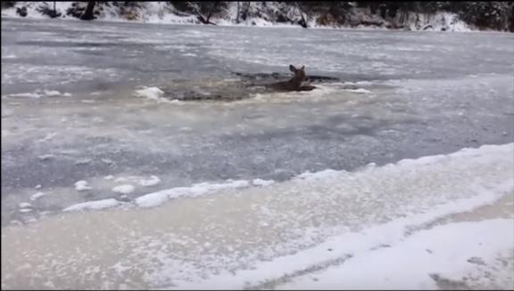 Rescate de un ciervo atrapado en lago helado