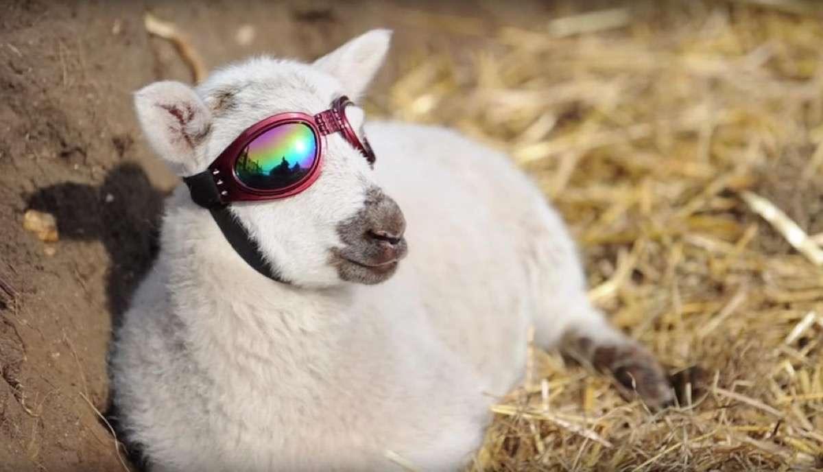Este borrego con gafas de sol es el animal más moderno de internet
