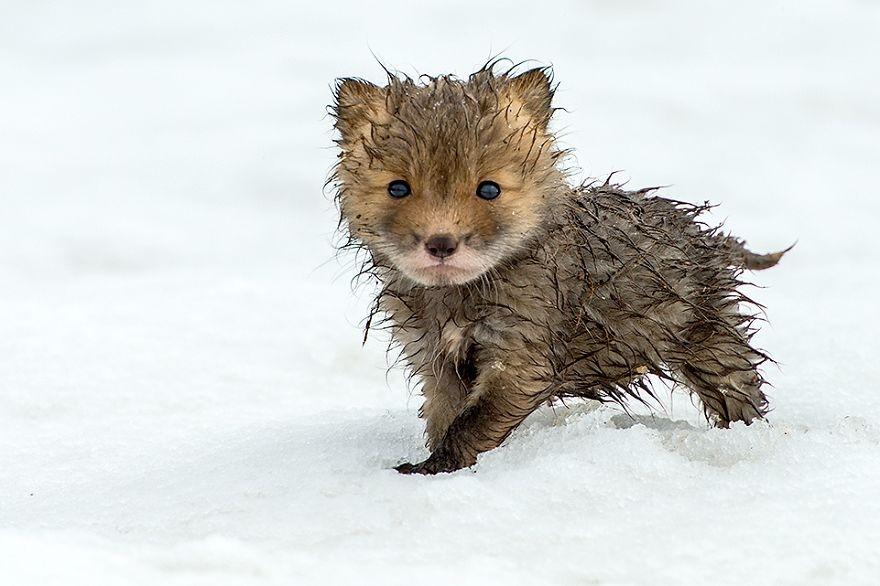 Estas fotos demuestran que las crías de zorro son los animales más adorables