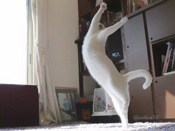 Este gato se convierte en bailarín de danza cuando nadie lo mira