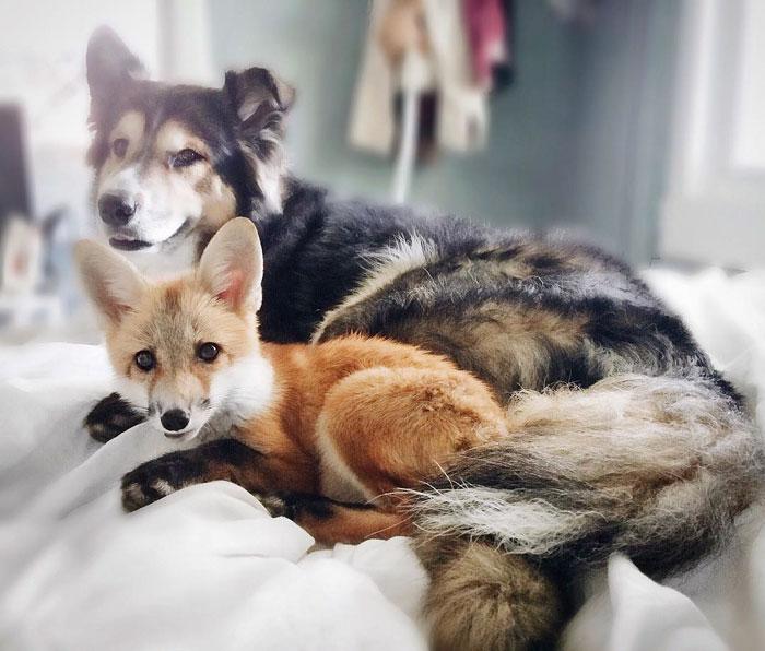 Este zorro y este perro rescatados se convierten en mejores amigos