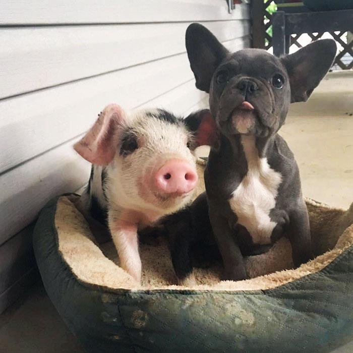 Este cerdito y este perrito se cuidan el uno al otro de una forma adorable