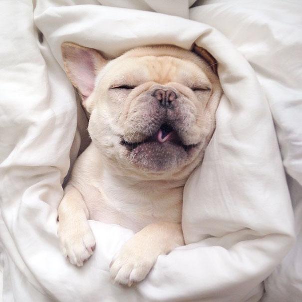Muere de amor con las siestas de este bullodog narcoléptico