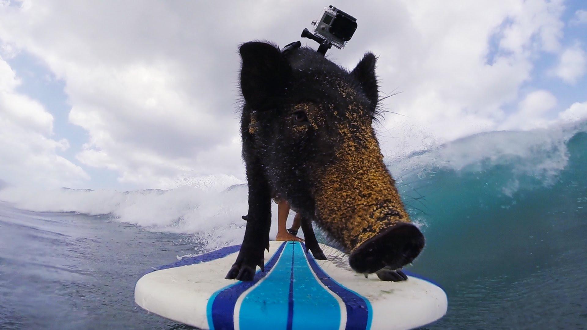 Este cerdo surfista es toda una celebridad en Hawaii