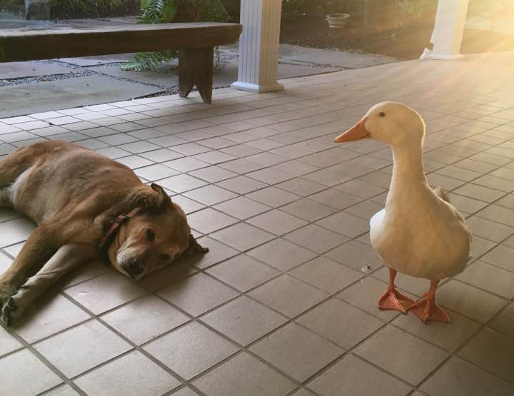 Este pato trata de animar cada día a un perro deprimido