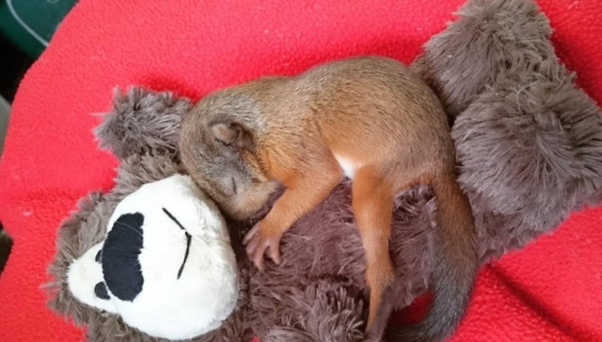 Esta ardilla bebé tiene un oso de peluche como familia