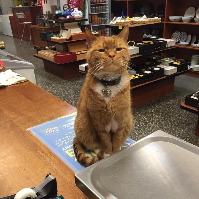 Este gato lleva 9 años trabajando en una tienda de Nueva York