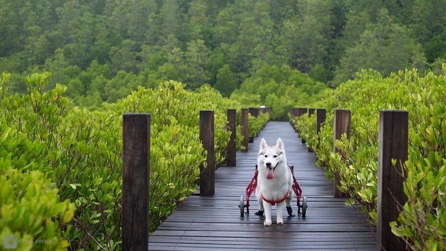 Esta husky por fin es feliz corriendo en su silla de ruedas