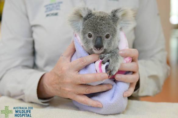 Este koala huérfano a encontrado una nueva mamá de peluche