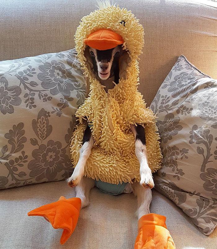 Esta cabra con ansiedad solo se calma con su disfraz de pato