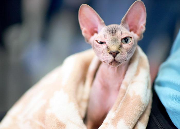 Esta mujer se dio cuenta de que su gato Esfinge era, en realidad, un gato depilado