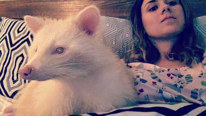 Rescatan a un mapache albino que era agresivo y se vuelve cariñoso