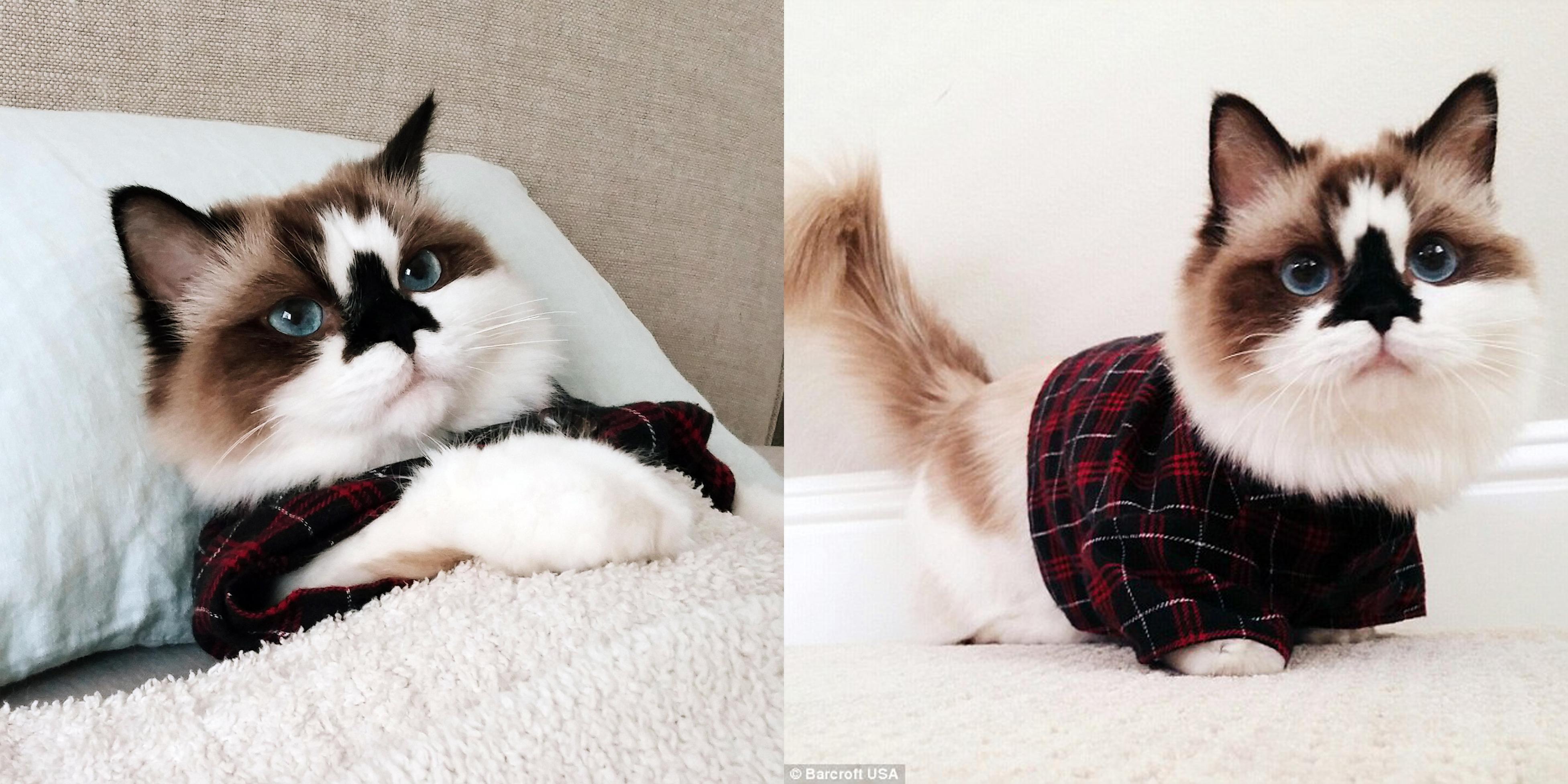 Conoce al adorable gato munchkin que arrasa en las redes