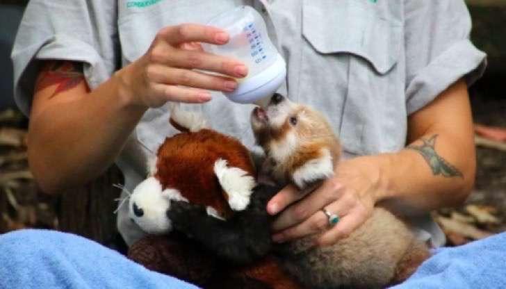 Este pequeño panda rojo lesionado se consuela abrazando a un peluche