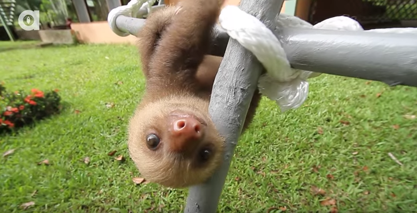 El adorable vídeo de dos perezosos intentando comunicarse