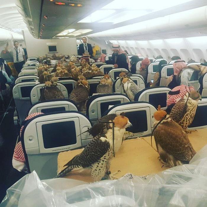 hombre viaja con 80 halcones