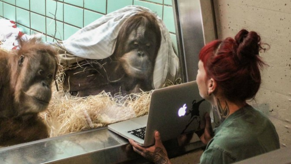 Un zoo crea un Tinder de orangutanes para encontrarle pareja a esta orangutana
