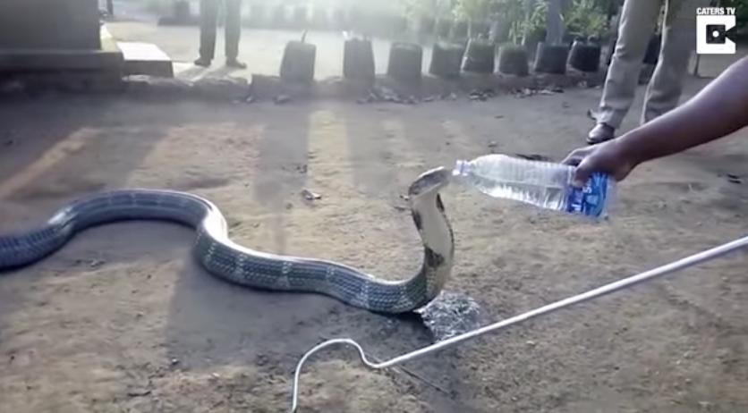 Esta cobra bebiendo agua de una botella es la última sensación en internet