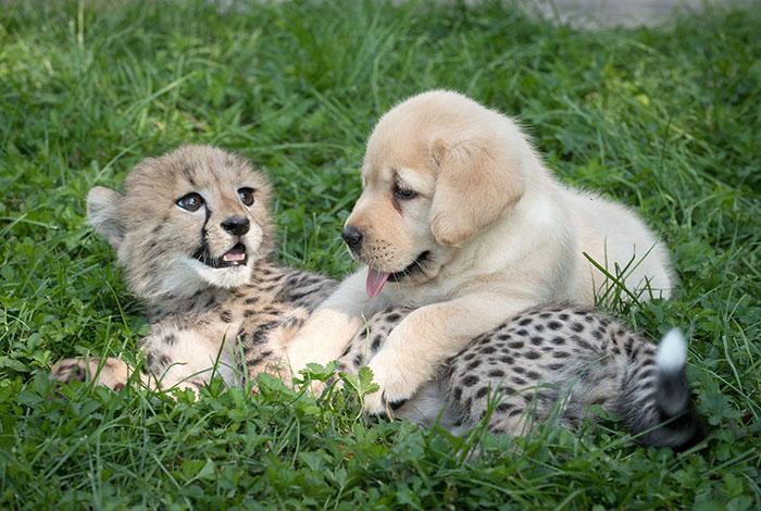 """Los guepardos son tan tímidos, que los zoos les ponen """"perros de apoyo"""""""