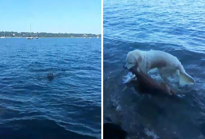 Este perro salvó a un cervatillo que se estaba ahogando